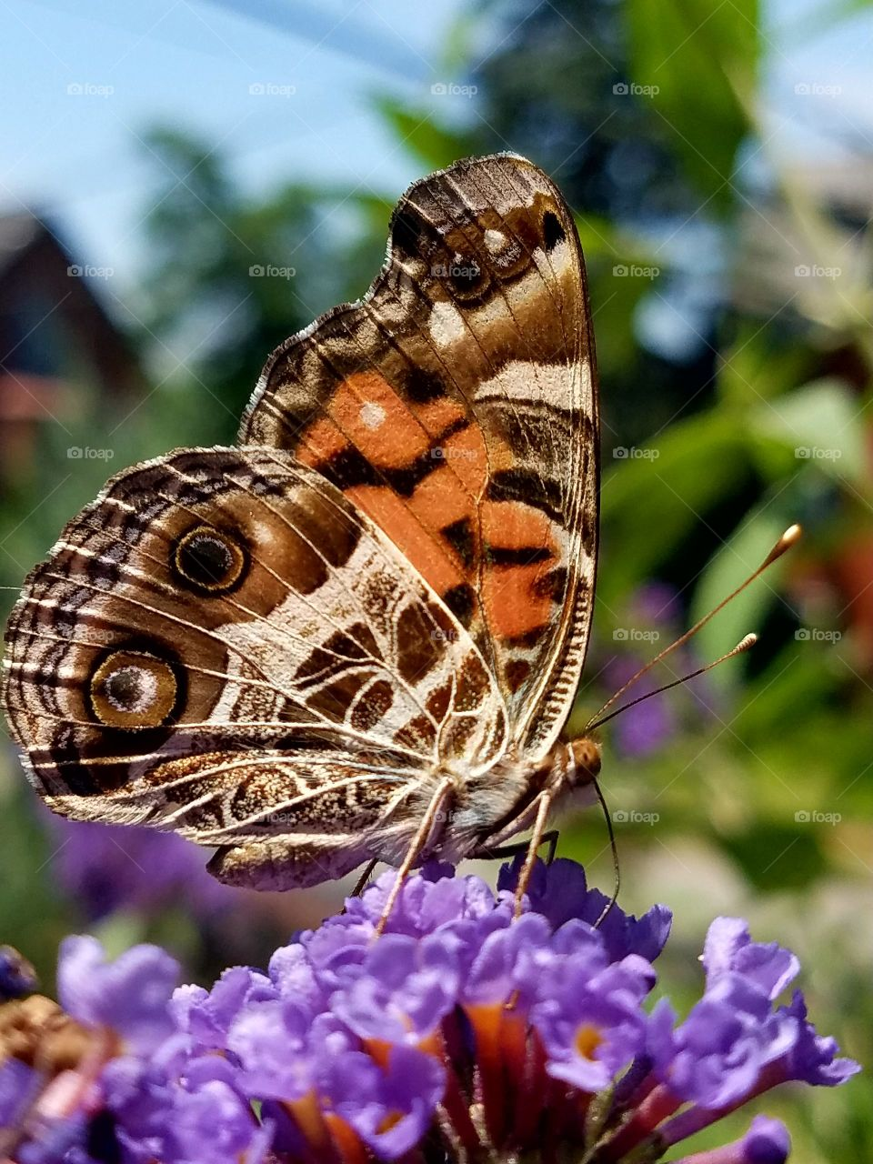 orange and brown butterfly drinking nectar from purple butterfly bush
