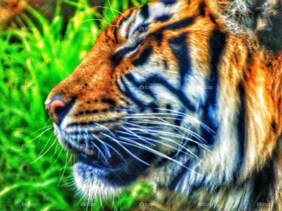 Fierce Tiger. Profile Of Sumatran Tiger