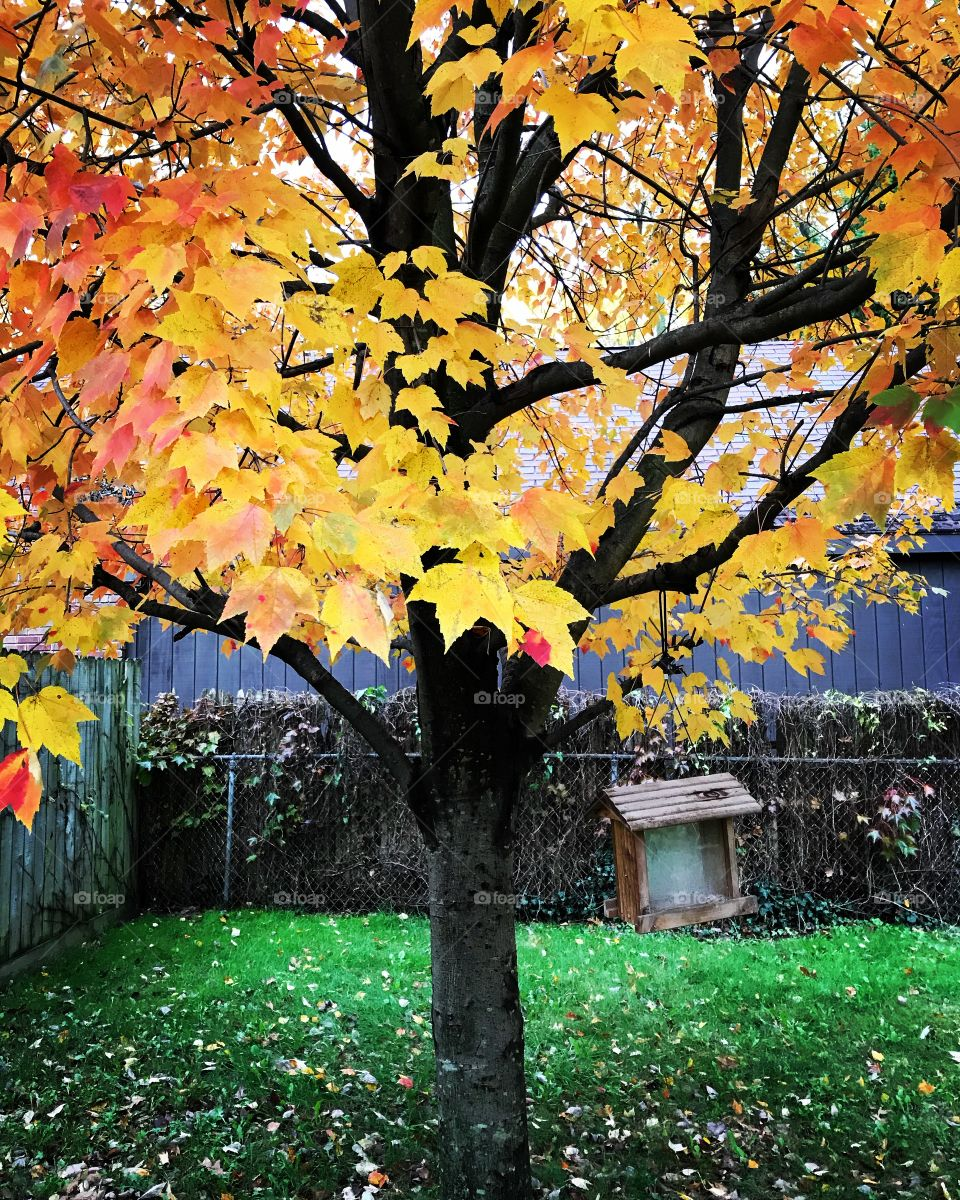 The back tree changing colors for fall in Ohio