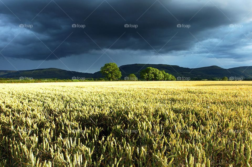 Wheat field under a stormy, almost black, sky with trees and hills in
