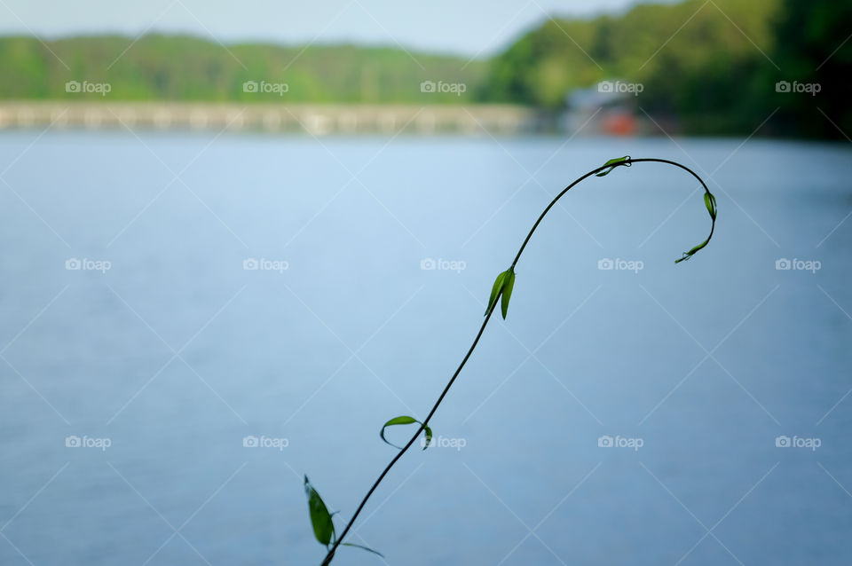 A single tendril of a delicate vine curls in front of a blurred lake and bridge in the background at Lake Johnson Park in Raleigh North Carolina.