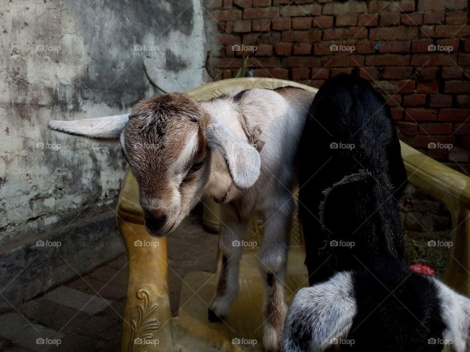 Cute Baby Goats