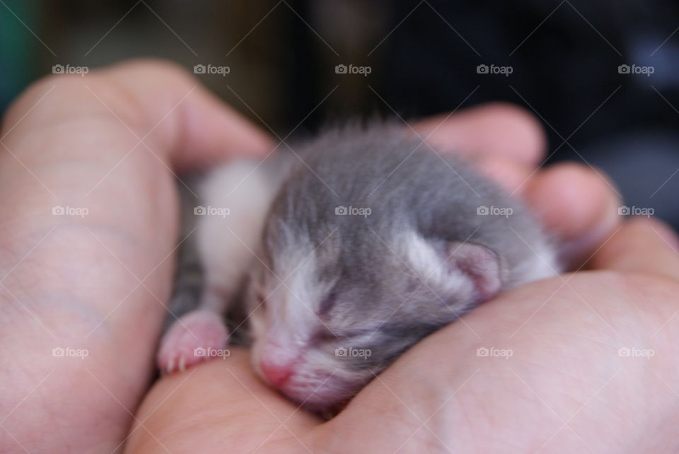 beautiful grey and white baby cat in my hands