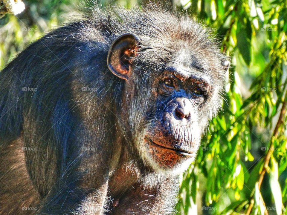 Pensive Chimpanzee. Chimpanzee Staring At The Camera
