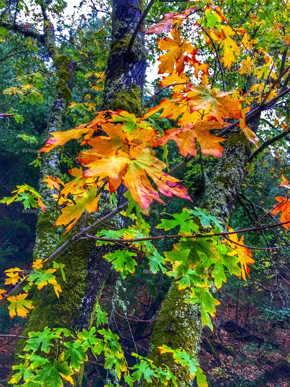 Autumn leaves and moss covered trees