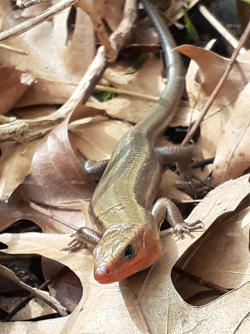 Red Throated Skink