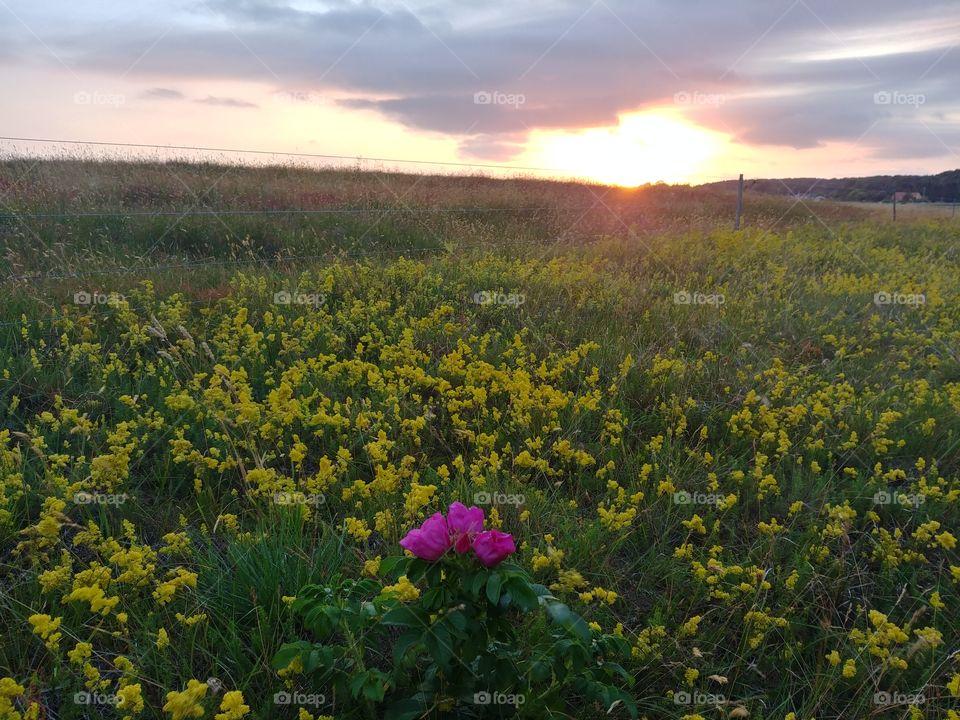 Wiese flower Land Sonne Sonnenuntergang sunset country sky himmel yellow friedlich