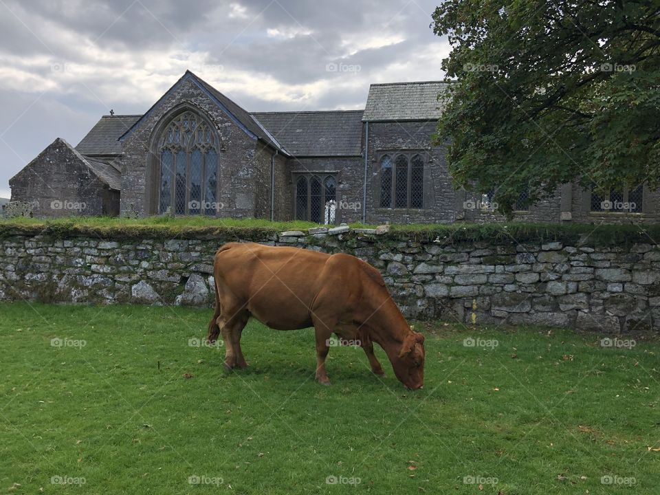 Maybe a guard dog for this lovely church, no it was just a group of cows who decided to visit the green alongside the church.