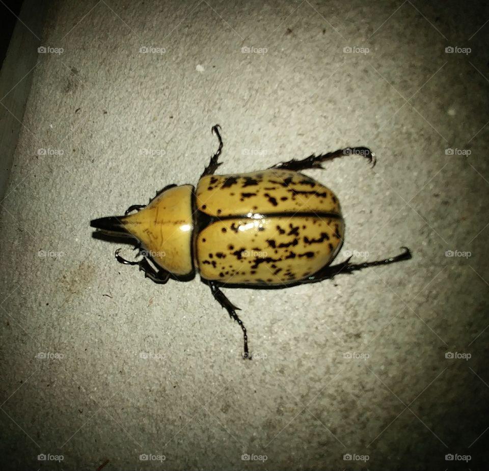 Big Beetle #1
