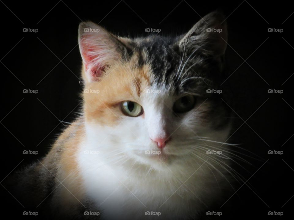 Portrait of a Calico tabby cat looking at me