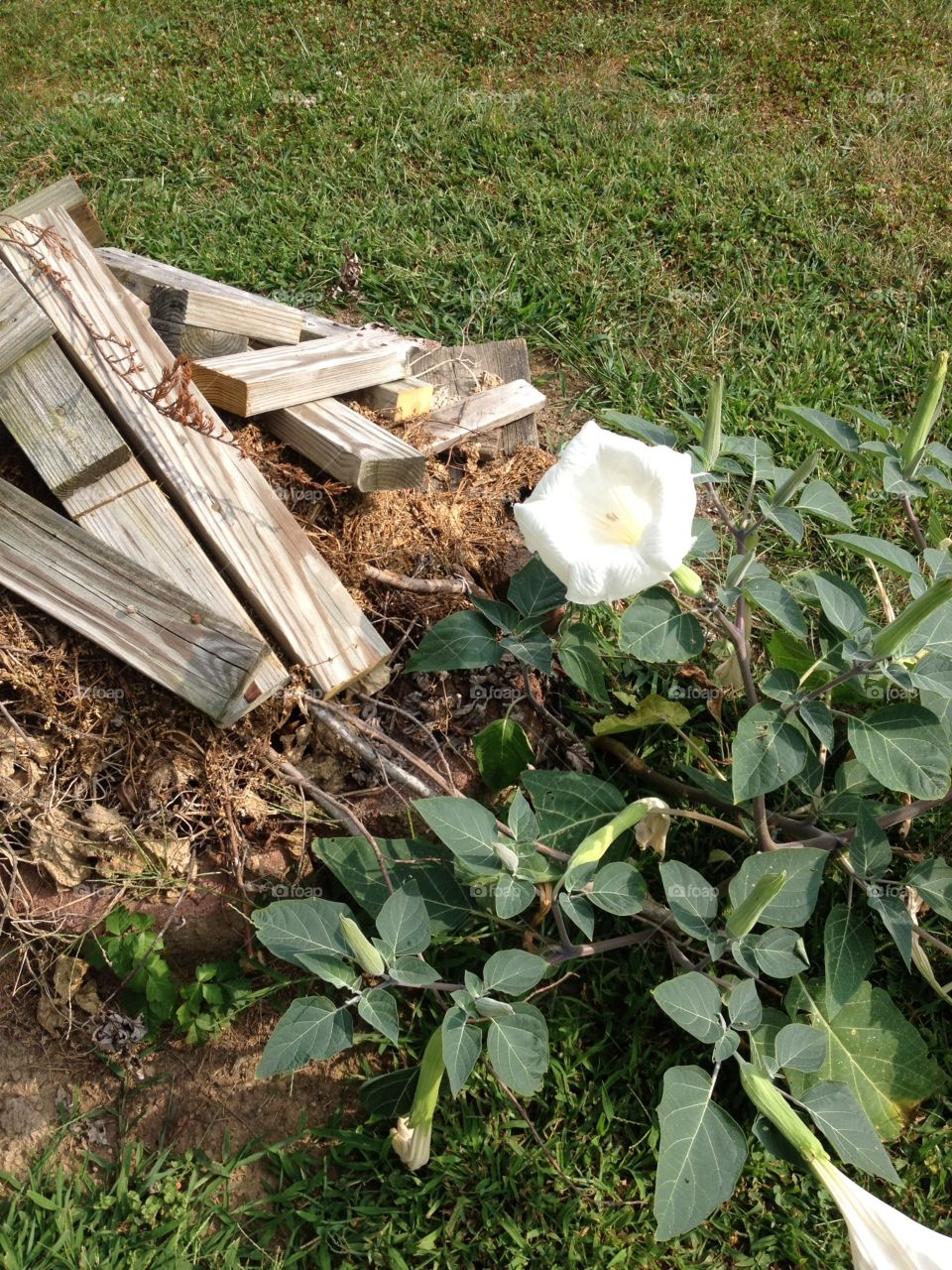 Moonflower in bloom next to a pile of wood