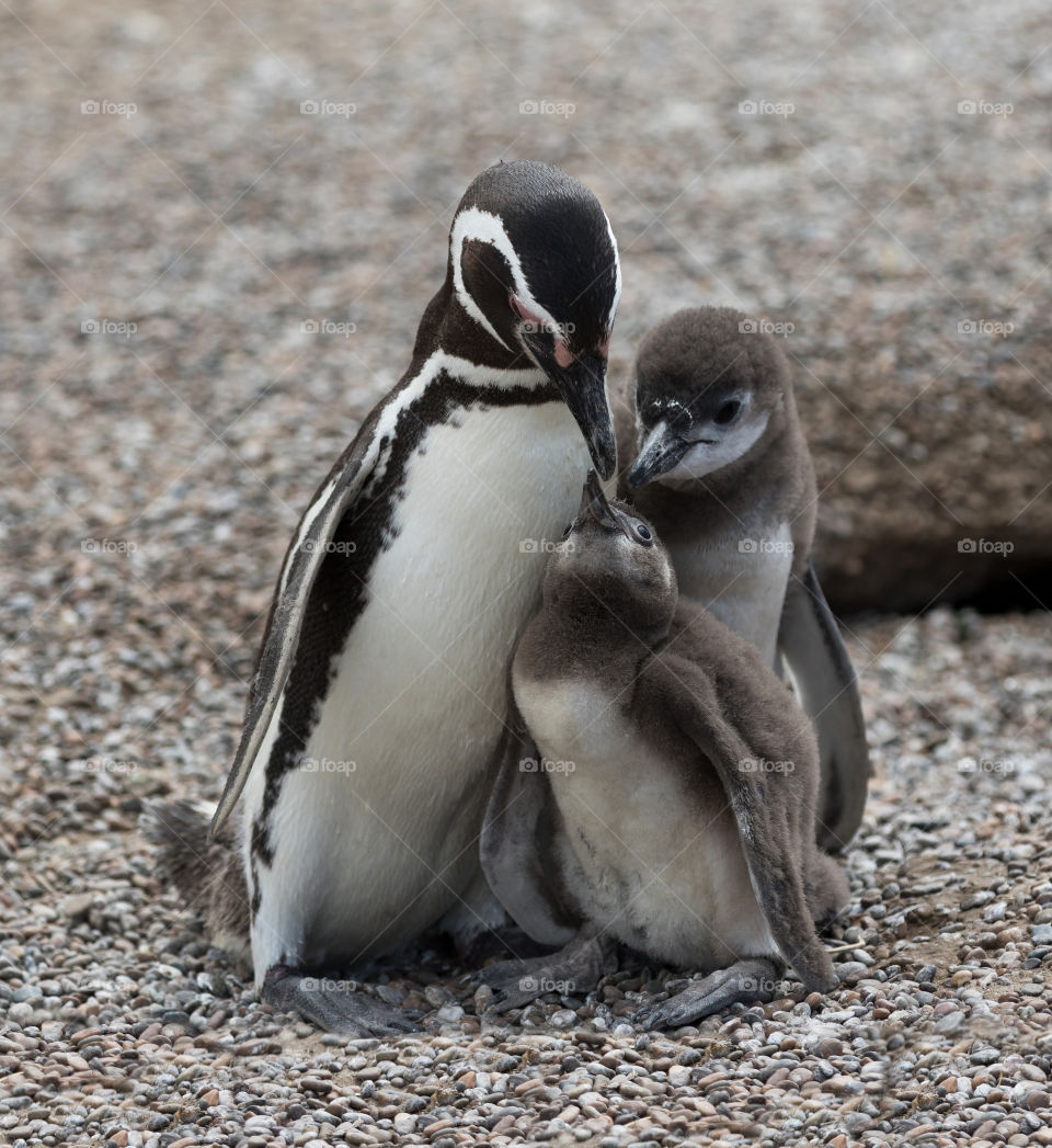 Baby Penguin and Family
