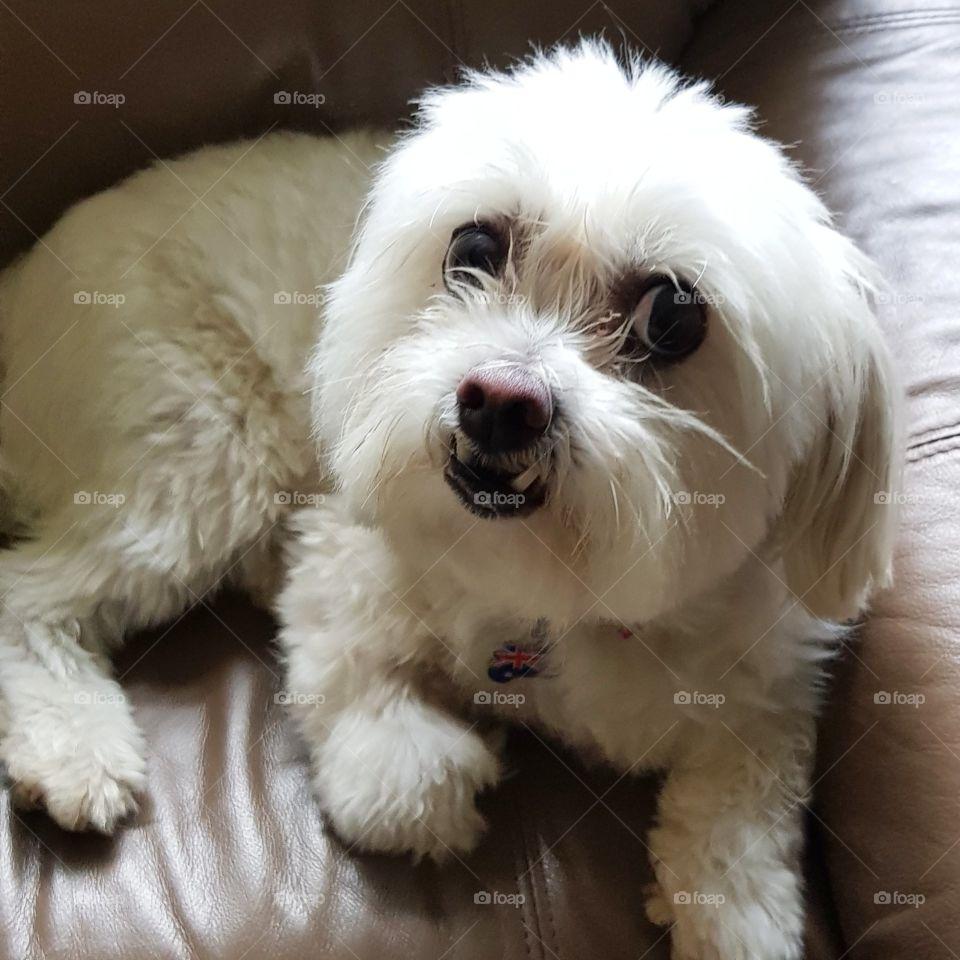Cute Maltese shitzu dog looking at the viewer