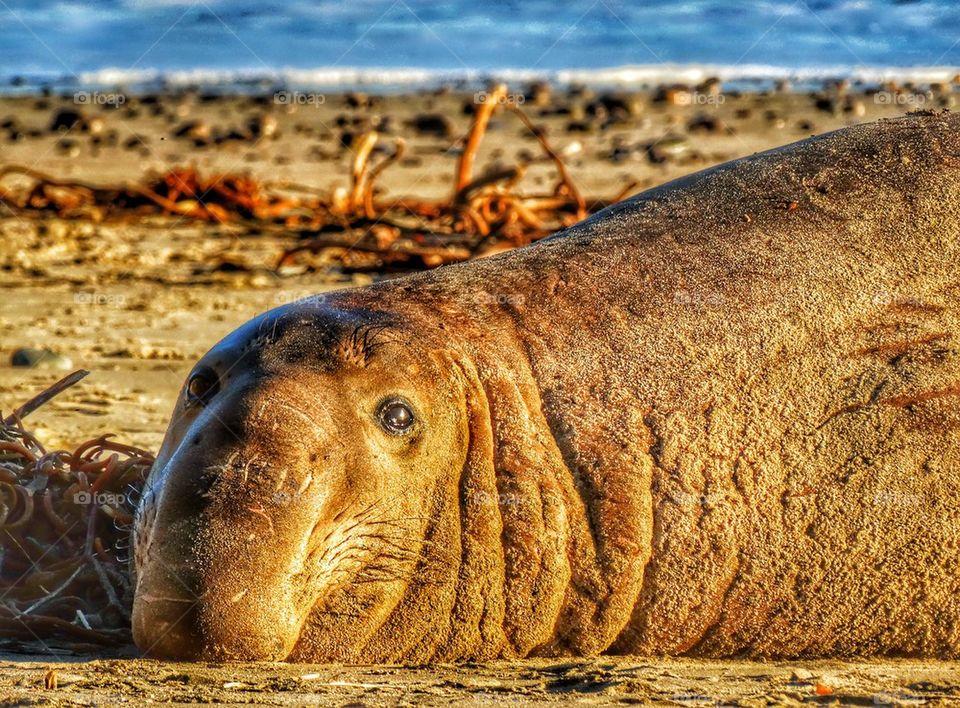 Elephant Seal On California Beach. Elephant Seal Resting On A Beach