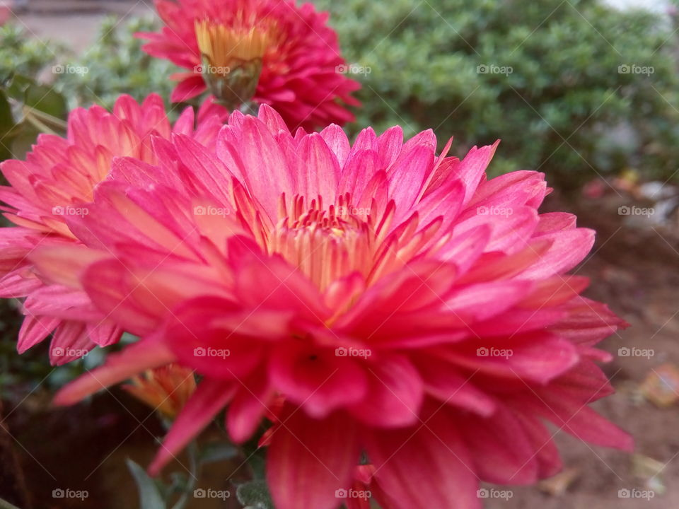 flower 2018-01-22 008  #আমার_চোখে #আমার_গ্রাম #nature #flower  #eukaryota #plantae #angiosperms #eudicots