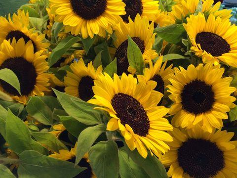Beautiful blooming sunflowers in field