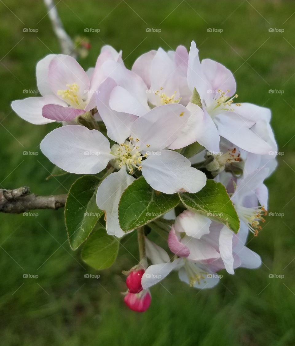 Blossoms on an apple tree