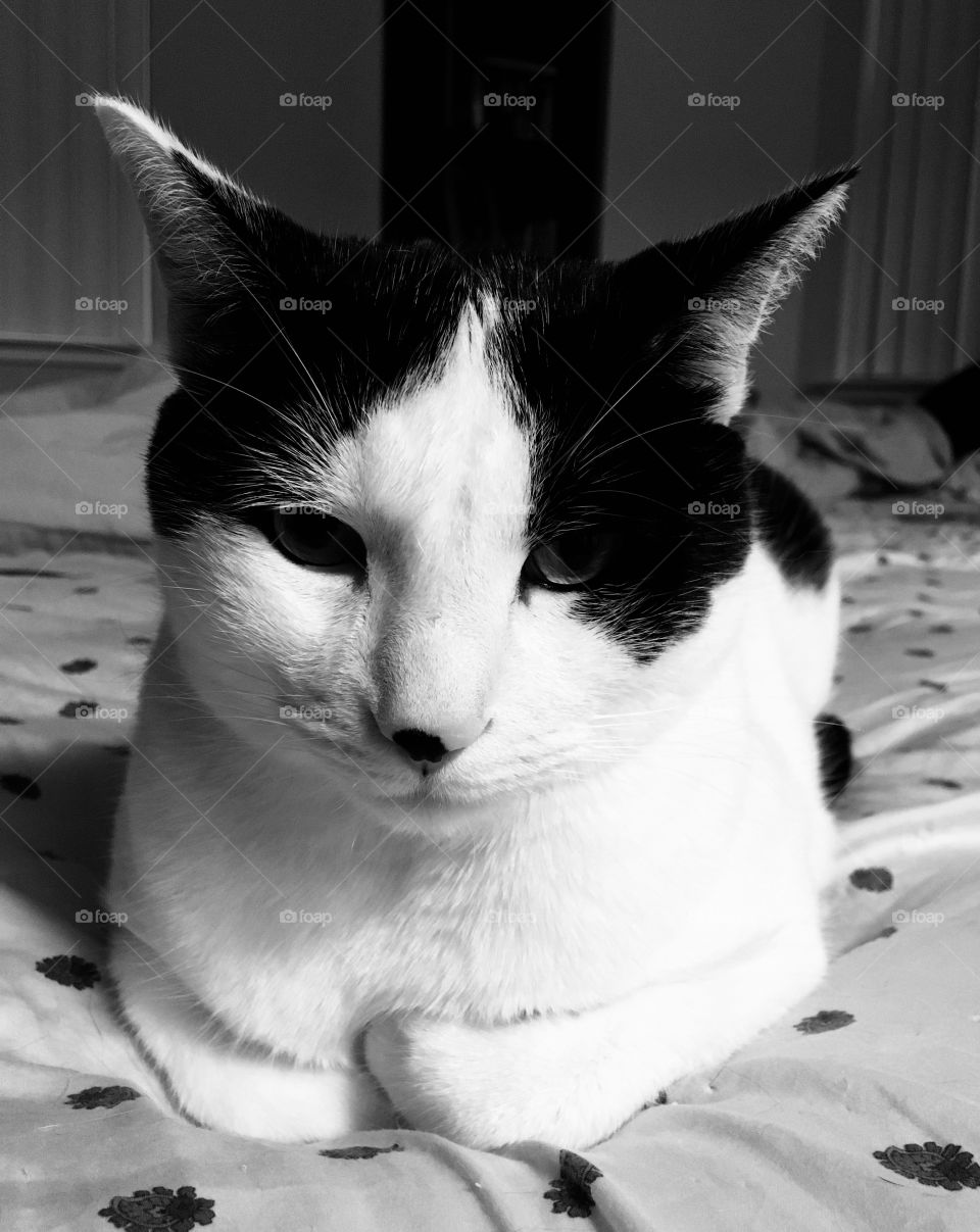 Portrait of a cat in black and white.
