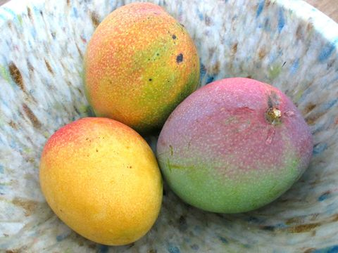 Trio of tropical mangoes in a bowl