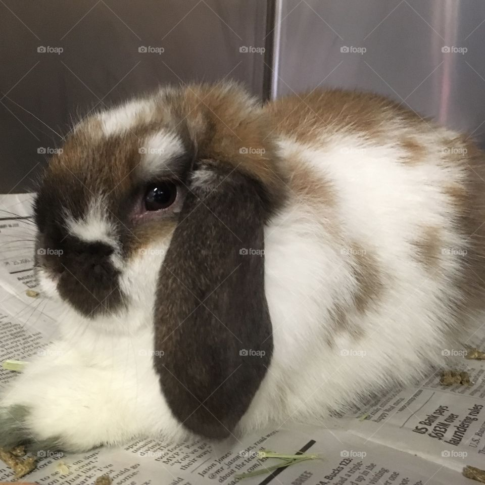 Rescued Bunny, a Holland Lop Eared, at Shelter ready for Adoption
