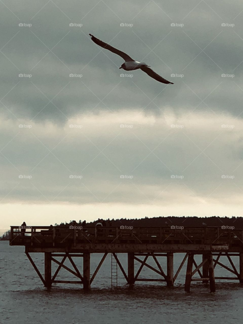 Beautiful Soaring Seagull Sidney Harbour January Photography