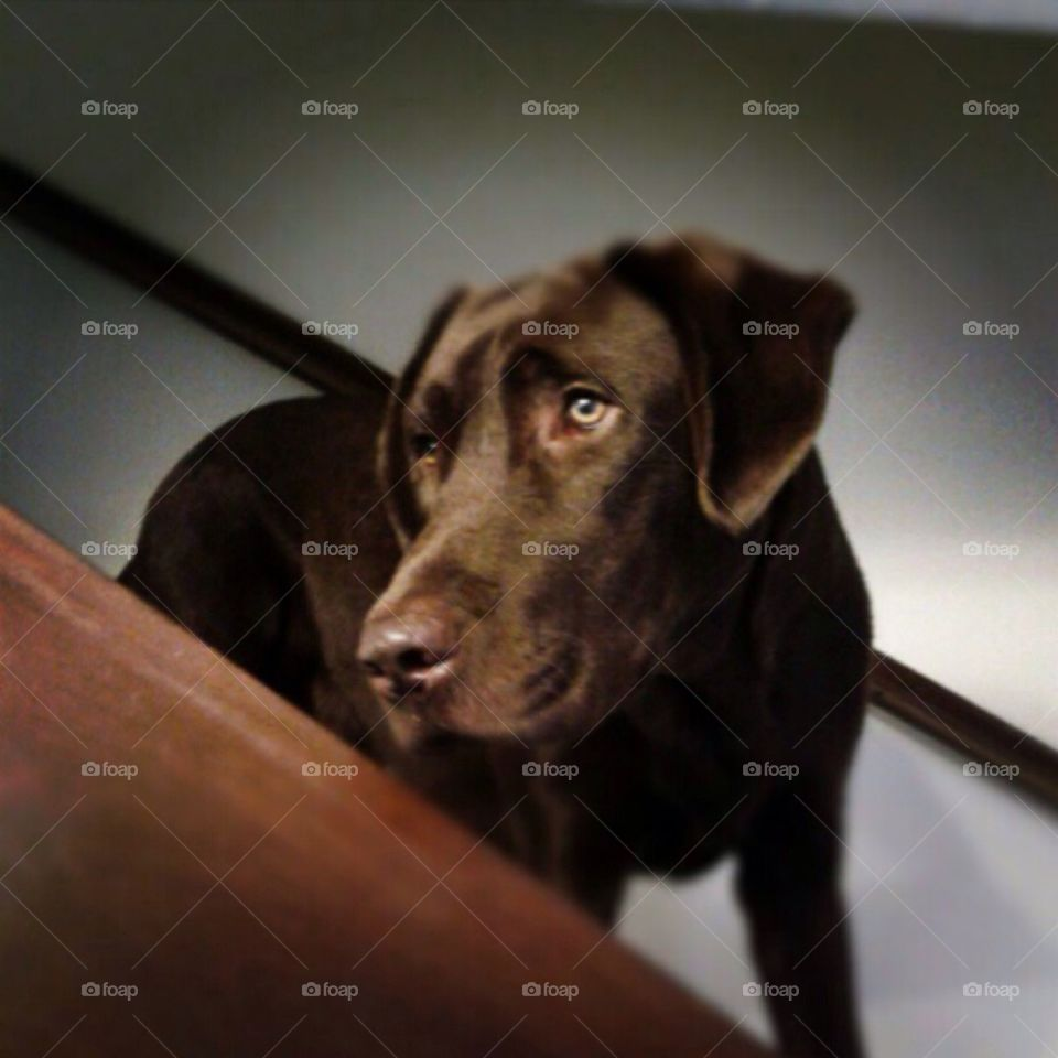 Close-up of brown labrador