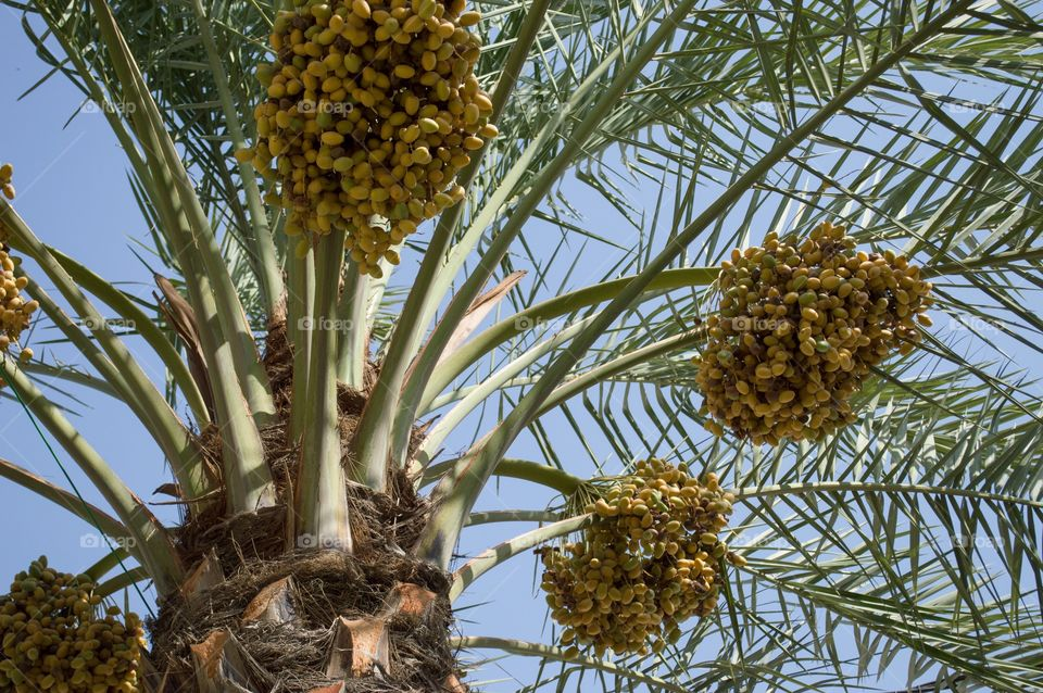 Palm tree full of dates