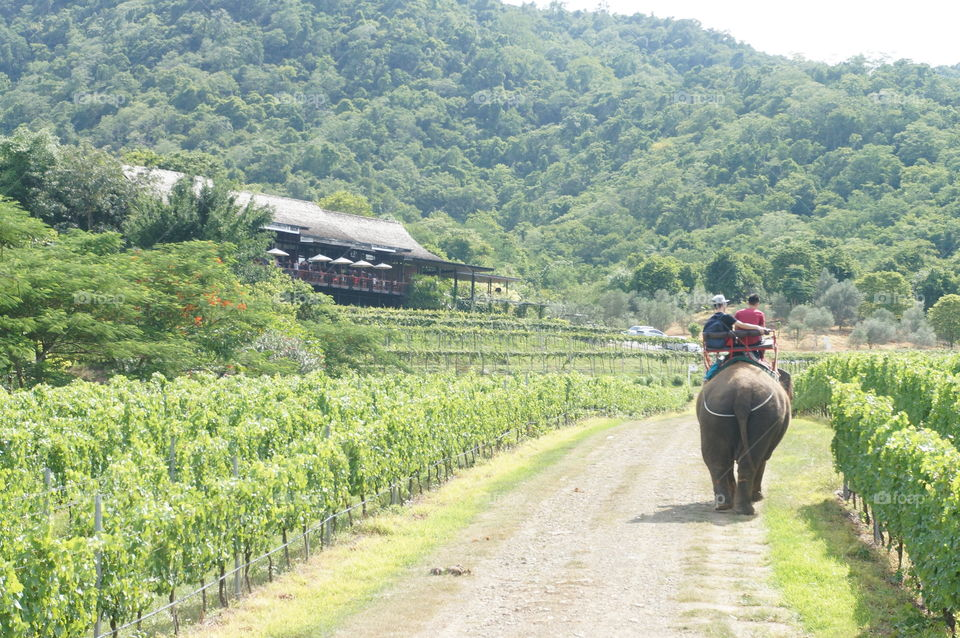 Elephant Ride in the Vineyard. Hua Hin Hills offers not only fantastic view of their vineyard but also an amazing experience with these gentle giants.