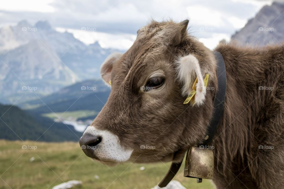 Beautiful cow wearing a cowbell , in the Alps mountains - ko med bjällra i alperna bergen