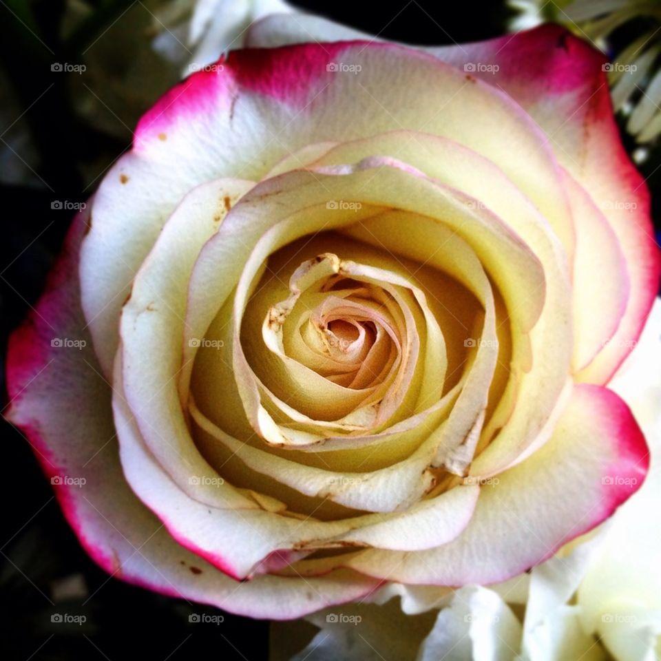 Pink fringe rose