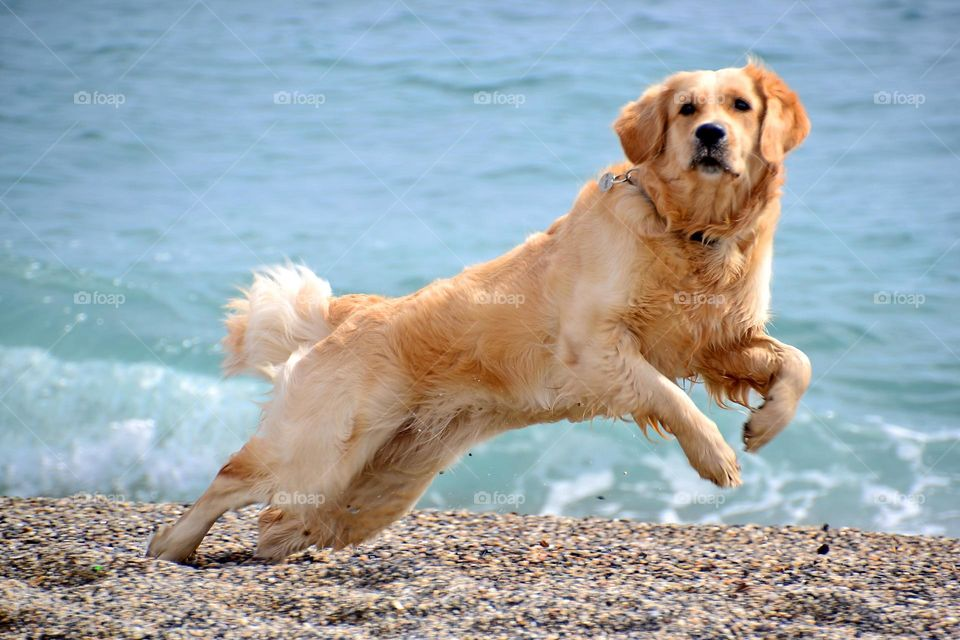 golden retrievers playing on the seaside