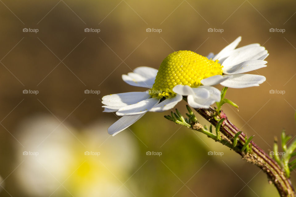 Clean background and daisy