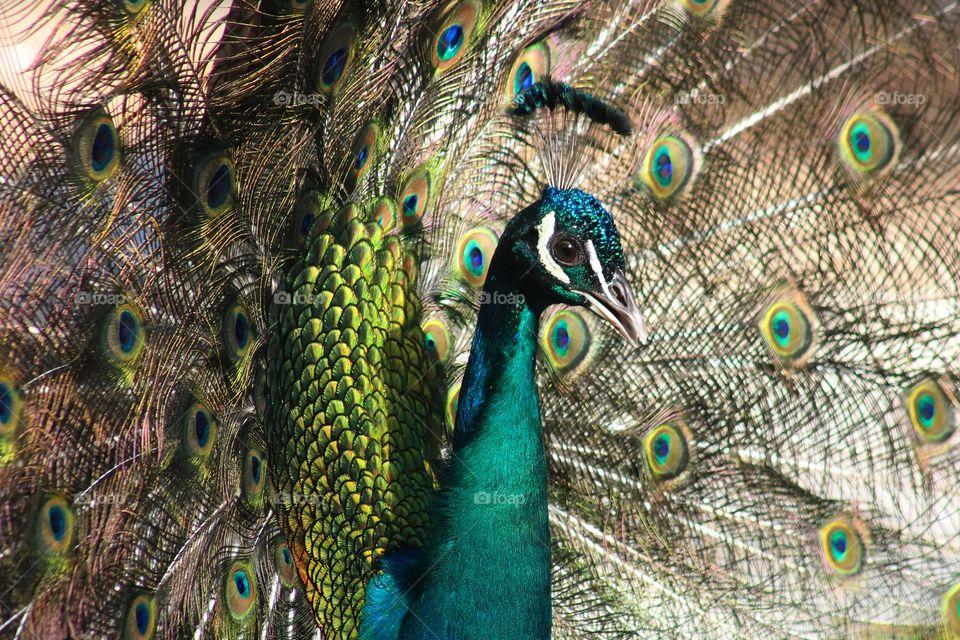 #animal #peacock #bird #tropical #nature #color