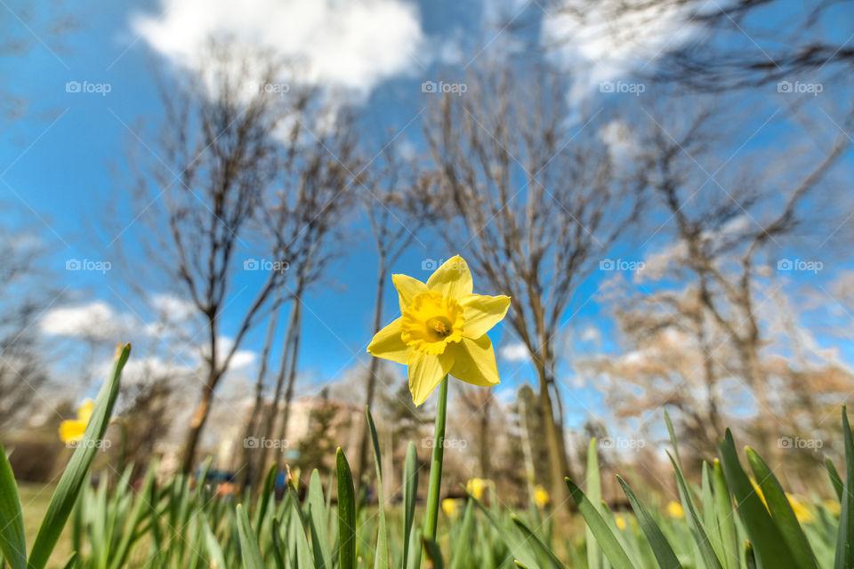 Nature, Flower, Daffodil, Season, No Person