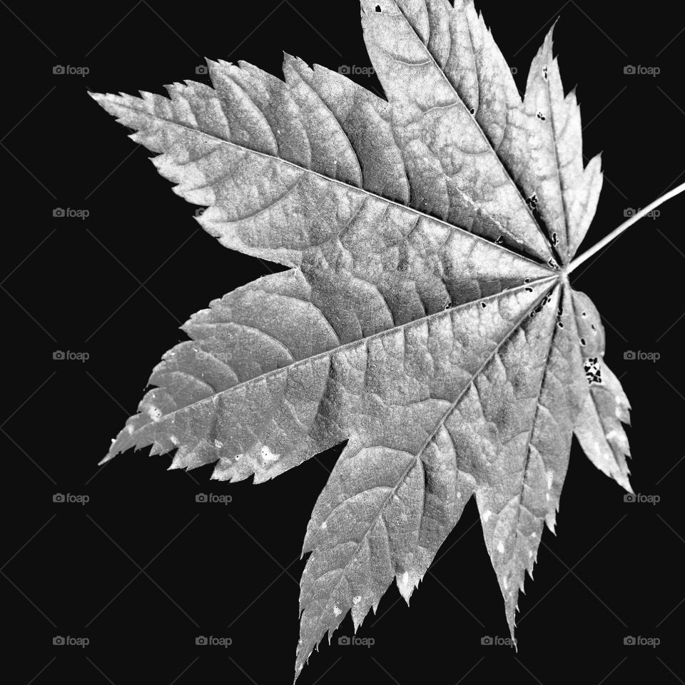 A large maple leaf with fine details and texture