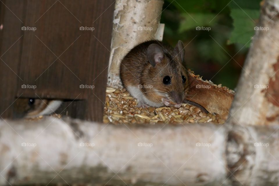cute mouse at breakfast in the birdhouse
