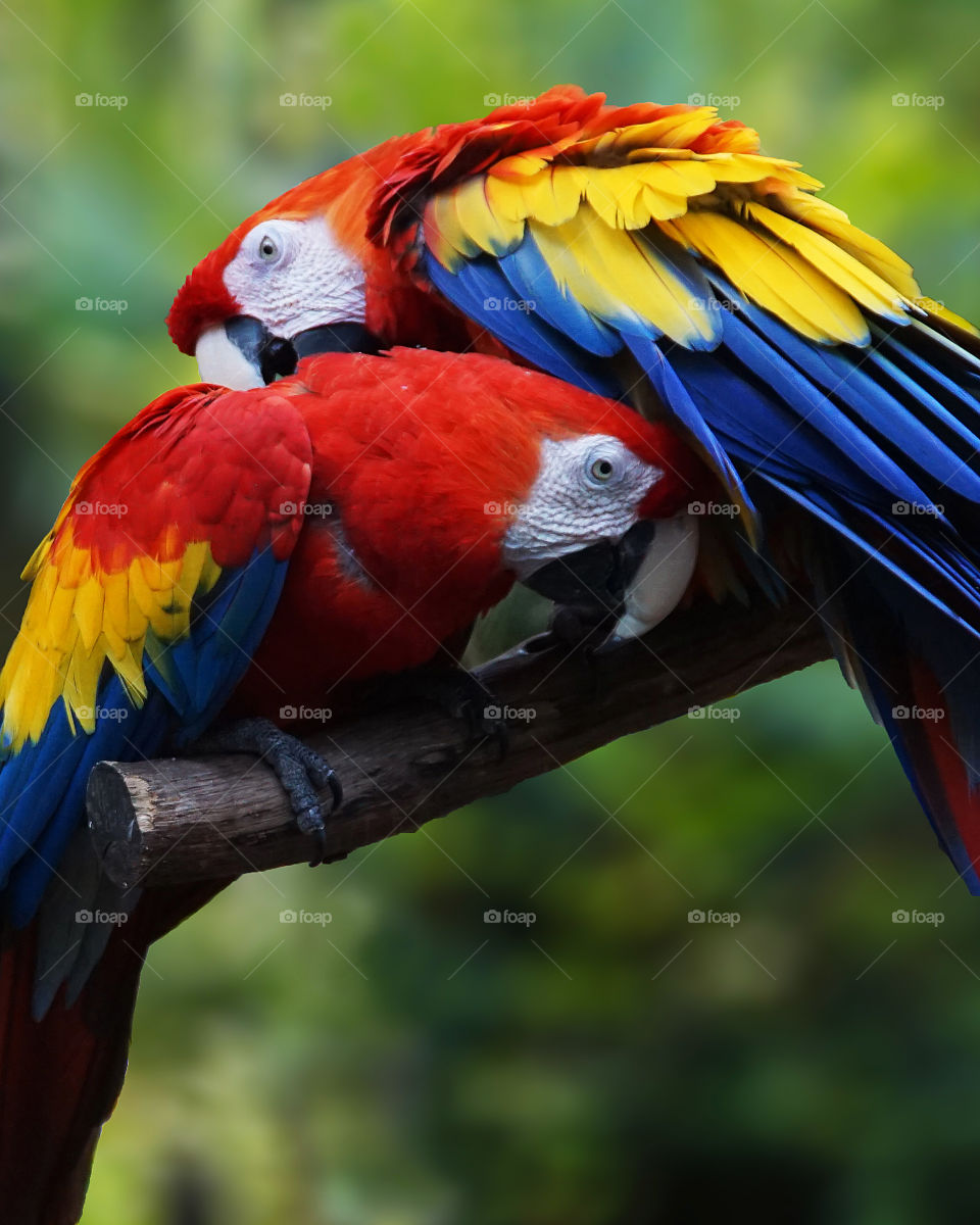 Two parrots preening