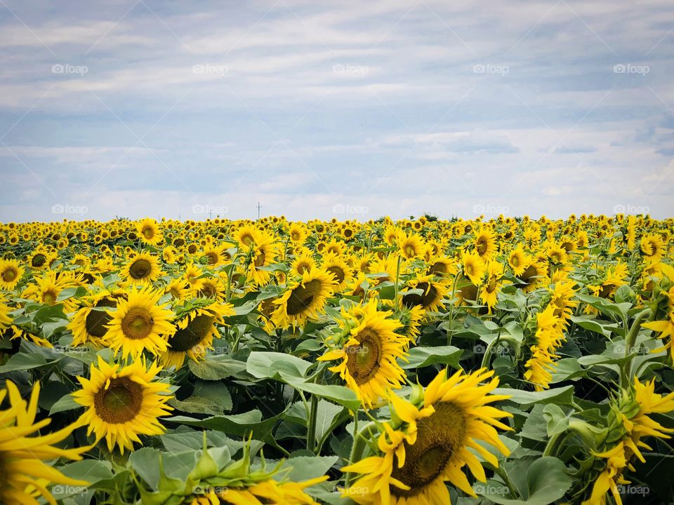 Field of sunflowers on a day with dark storm clouds on the sky
