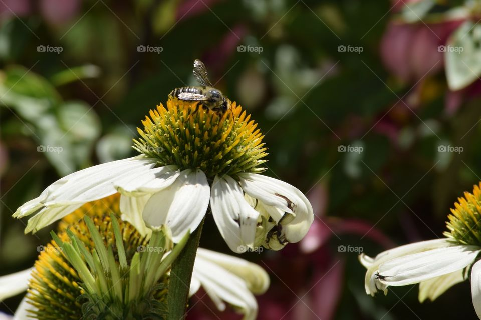 Bee on white echinacea flowers