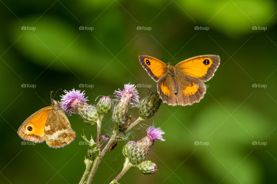 two gatekeeper or hedge brown butterflies having lunch on a kind of thistle flower on a summer day in the south of England.