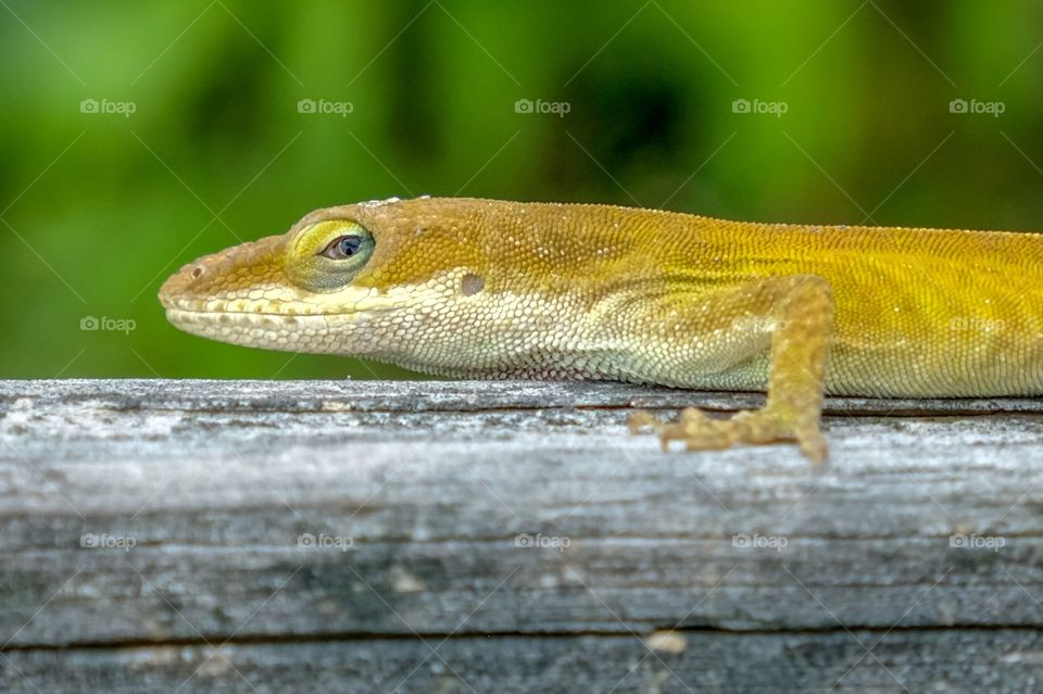 A Carolina anole sports it's golden version of its skin, with beautiful rainbow trim around the eye. It looks to be slightly perturbed that the photograph is interrupting its sunning on the deck.