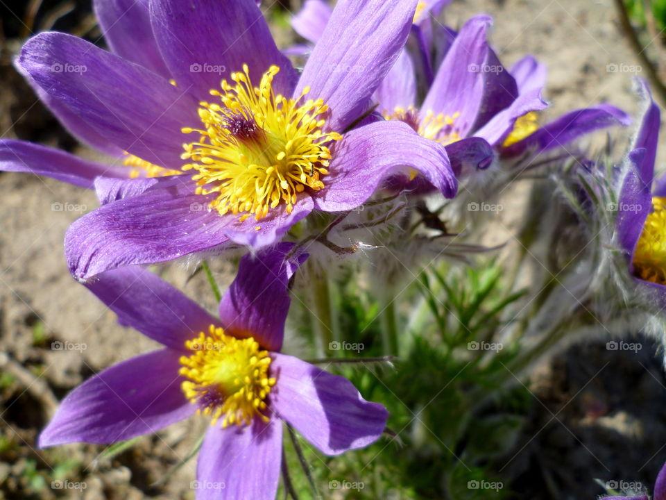 Blooming purple flower in the garden