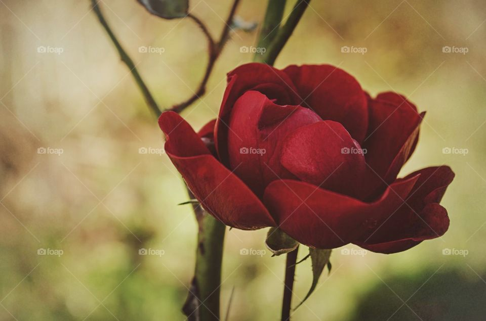 Walking through the garden. Beautiful bright red rose in all her beauty. Reminds me of Briar Rose.