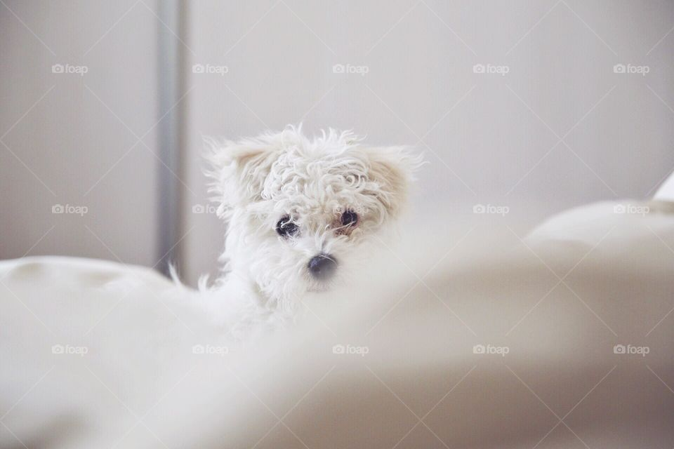 Mornin'. Morning bed puppy sheets nose fluffy cute white bedroom