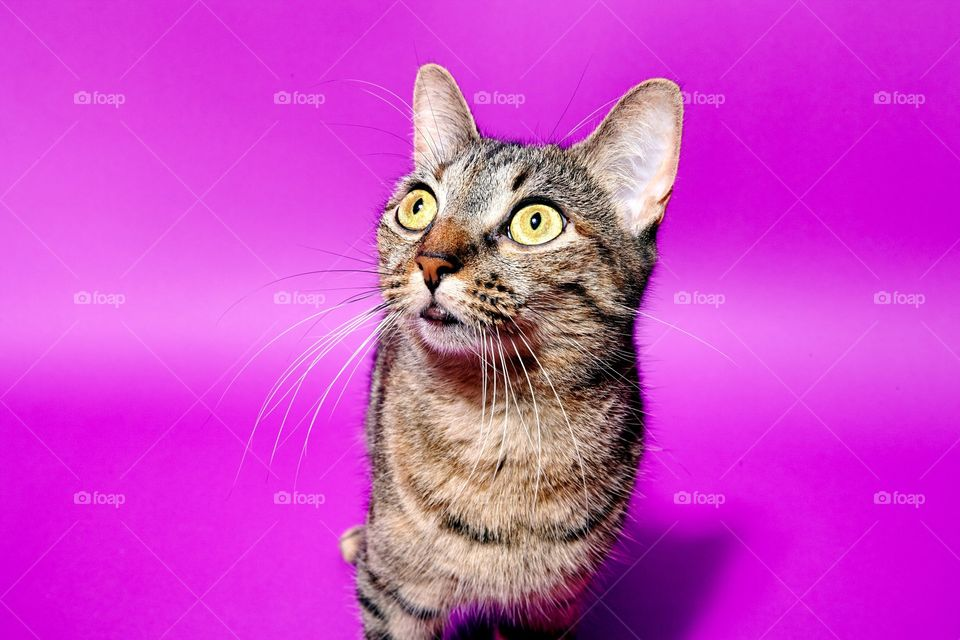 A tabby cat on pink background