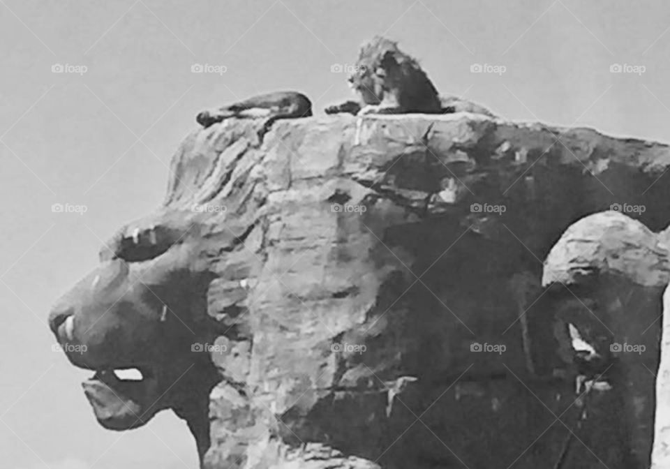 A lion sat on a lion shaped rock wild