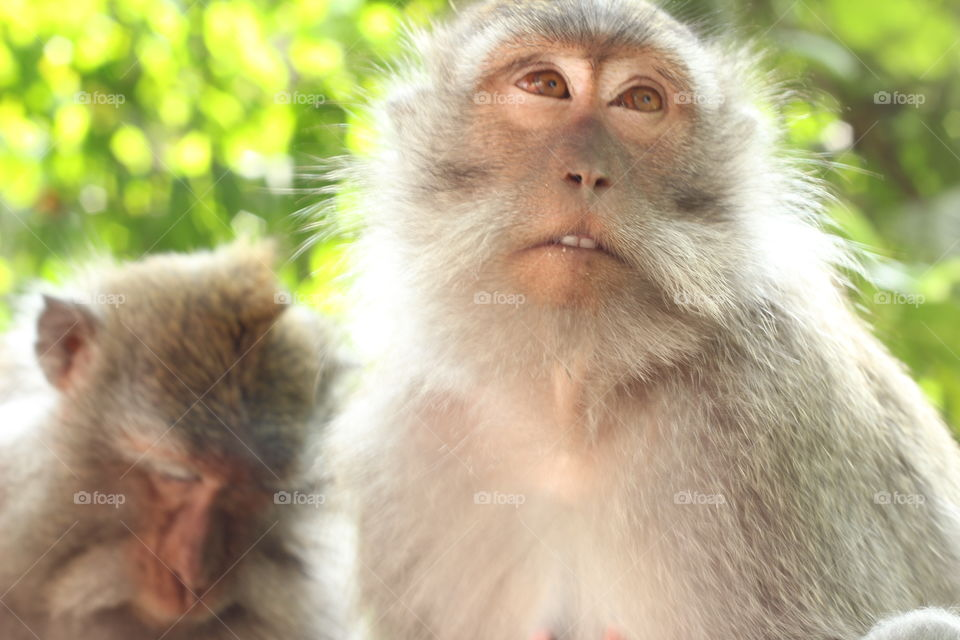 Monkeys of The Ubud temple. . A close up of a monkey in Ubud Bali using my 50mm lens.