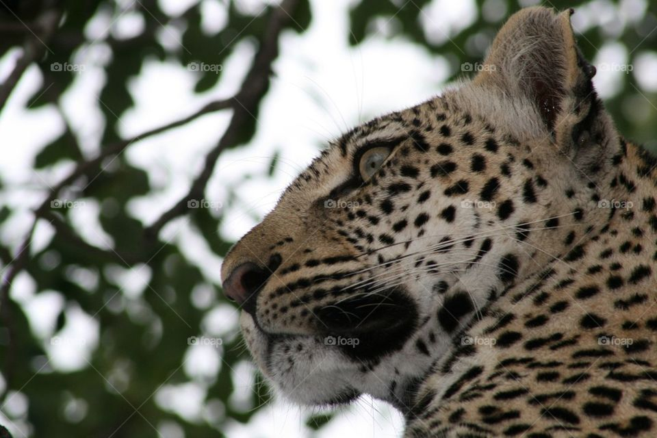 Leopard whiskers