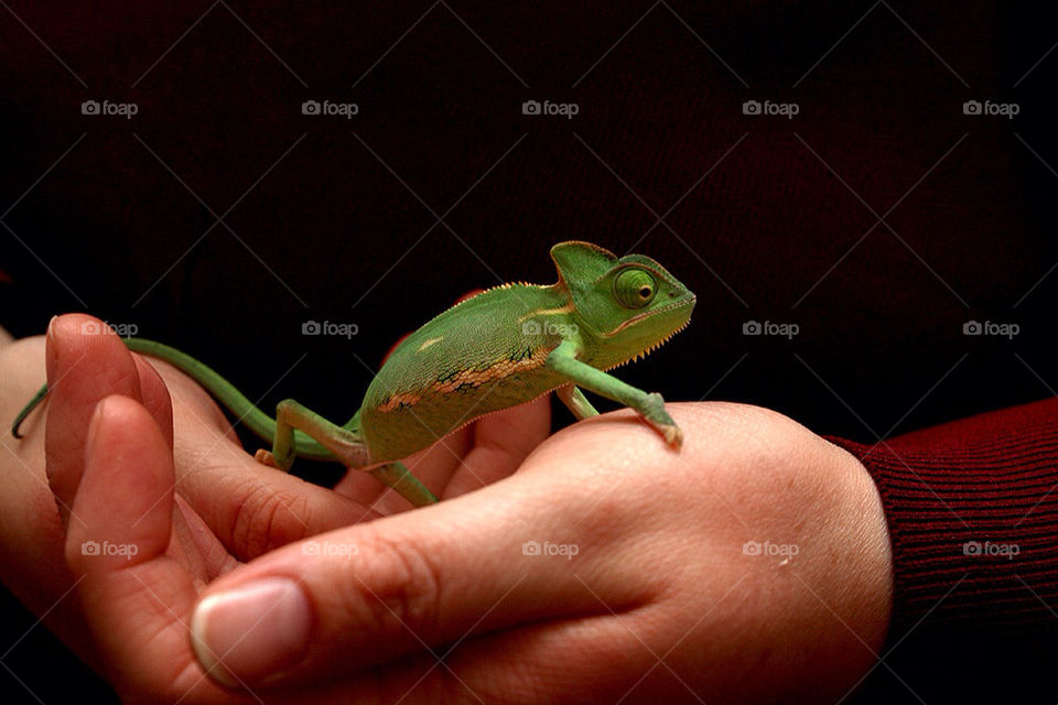 cute hand chameleon small by dryair