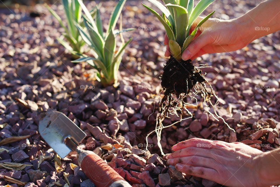 Planting agave